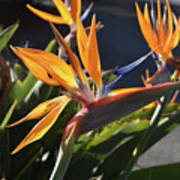 A Bunch Of Bird Of Paradise Flowers Bloomed  Poster
