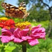 A Butterfly On The Pink Zinnia Poster