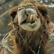 A Camel Displays Its Teeth Poster