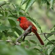 A Cardinal Day Poster