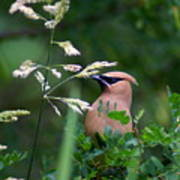 A Cedar Waxwing Facing Left Poster