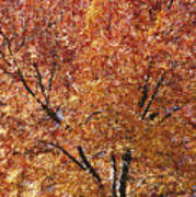 A Claret Ash Tree In Its Autumn Colors Poster