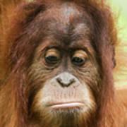 A Close Portrait Of A Sad Young Orangutan Poster