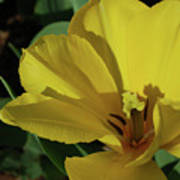 A Close Up Look At A Yellow Flowering Tulip Blossom Poster