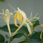 A Close Up Of Honeysuckle Poster