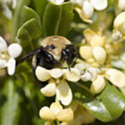 A Close View Of A Bumblebee Pollinating Poster