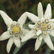 A Close View Of An Edelweiss Flower Poster