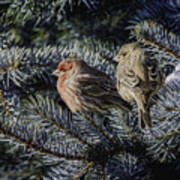 A Couple Of House Finch Poster by LeeAnn McLaneGoetz McLaneGoetzStudioLLCcom