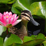 A Curious Duck And A Water Lily Poster