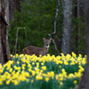 A Deer And Daffodils 4 Poster