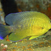 A Dusky Damselfish Offshore From Panama Poster by Michael Wood