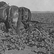 A Farmer Using A Cultivator  Poster