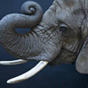 A Female African Elephant, Loxodonta Poster