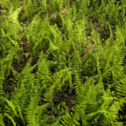 A Field Of Ferns Poster