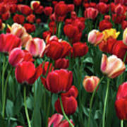 A Field Of Tulips Poster