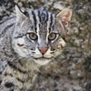 A Fishing Cat Portrait Poster