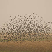 A Flock Of Birds Swarming A Field Poster