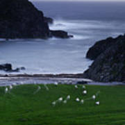 A Flock Of Sheep Graze On Seaweed Poster