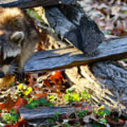 A Foraging Raccoon Poster