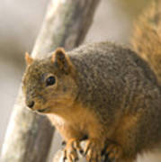 A Fox Squirrel Sciurus Niger Perches Poster