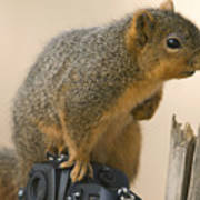 A Fox Squirrel Sciurus Niger Sits Poster