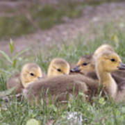 A Gaggle Of Goslings Poster