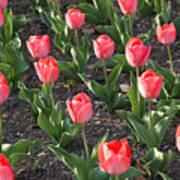 A Garden Full Of Tulips Poster