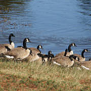 A Gathering Of Geese Poster