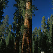 A Giant Sequoia Tree Towers Poster