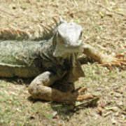 A Glaring Common Iguana On Aruba's Wild Side Poster