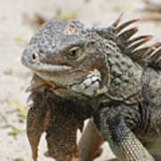 A Gray Iguana With Spines Along It's Back Poster