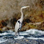 A Great Blue Heron At The Spokane River 2 Poster