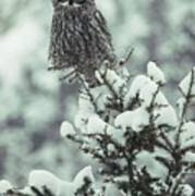 A Great Gray Owl Strix Nebulosa Perches Poster