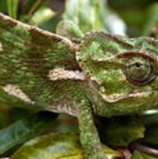 A Green Chamaeleonidae Poster