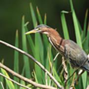 A Green Heron Stalks Prey Poster