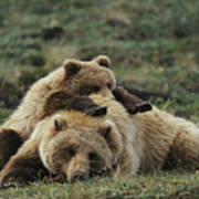 A Grizzly Bear Cub Stretches Poster