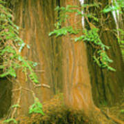 A Group Giant Redwood Trees In Muir Woods,california. Poster