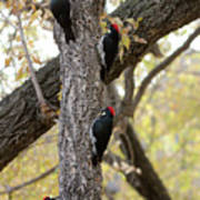 A Group Of Acorn Woodpeckers In A Tree Poster