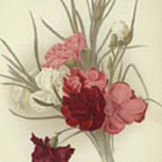 A Group Of Clove Carnations Poster