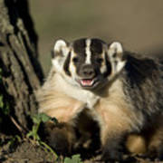 A Hand-raised Badger At The Home Poster