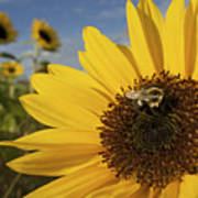 A Honey Bee Visiting A Sunflower Poster