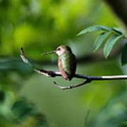 A Hummingbird Rests Poster