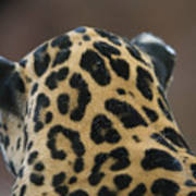 A Jaguar At Omahas Henry Doorly Zoo Poster