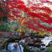 A Japanese Maple With Colorful, Red Poster by Darlyne A. Murawski