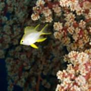 A Juvenile Golden Damsel Fish Shelters Poster
