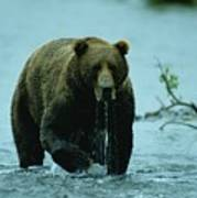 A Kodiak Brown Bear Ursus Middendorfii Poster by George F. Mobley