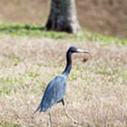 A Little Blue Heron Poster