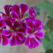 A Magenta Flower Poster