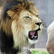 A Male Lion, Panthera Leo, Roaring Loudly Poster