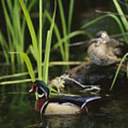 A Male Wood Duck Swims Past Its Mate Poster